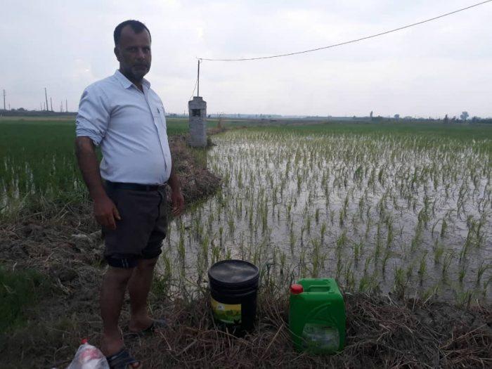 کشت برنج ارگانیک با کمک ای ام و کود مرغی امکان پاور