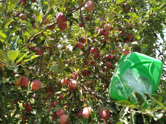 نتایج بسیار خوب از مصرف ای ام و محصولات امکان پذیر در باغ های سیب